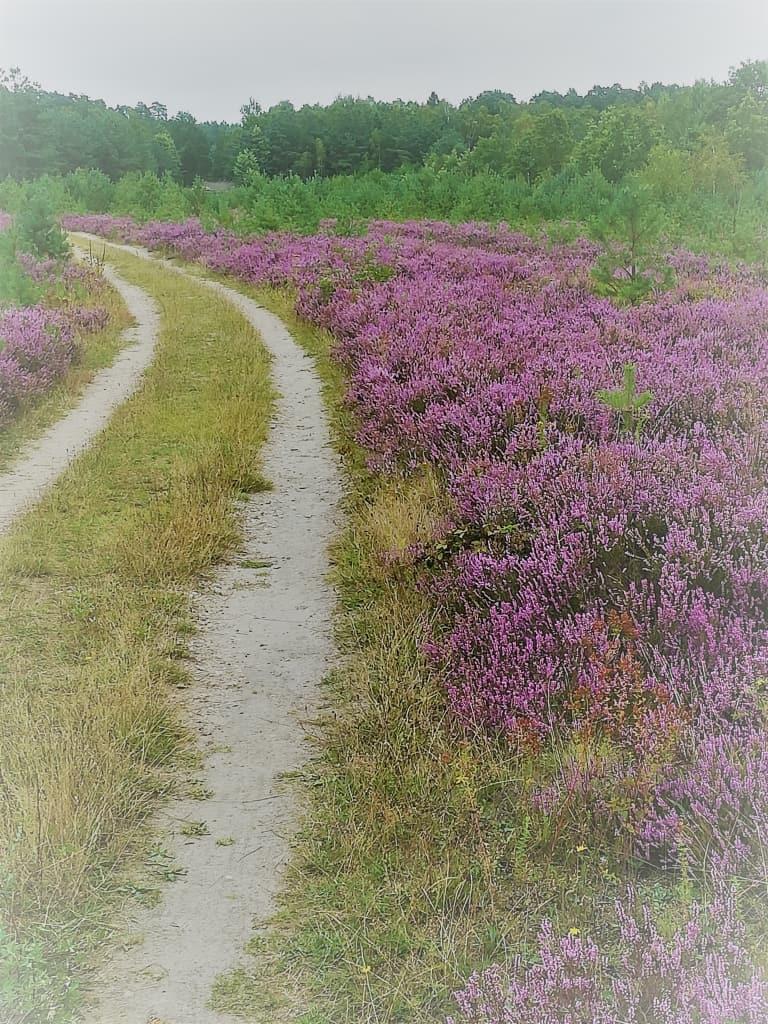 Neue Wege: Weg durch die blühende Lüneburger Heide